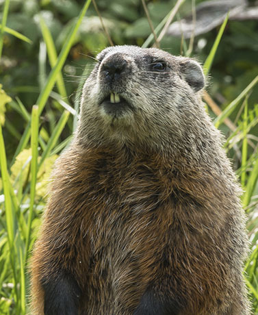 Groundhog Day: History Of The Winter Tradition