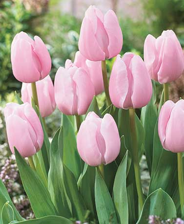 15 Pink Tulip Bulbs