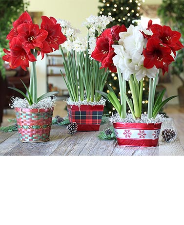 Holiday Live Bulb Floral Gifts