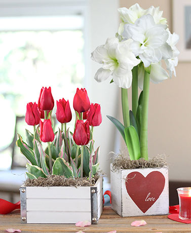 Valentine's Day Live Bulb Floral Gifts
