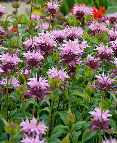 Set of 5 Bee Balm Roots