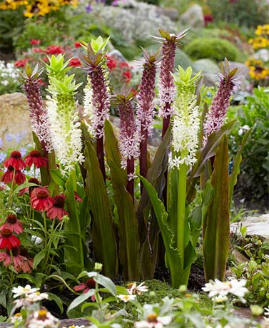 Set of 5 Indian Summer Eucomis Roots